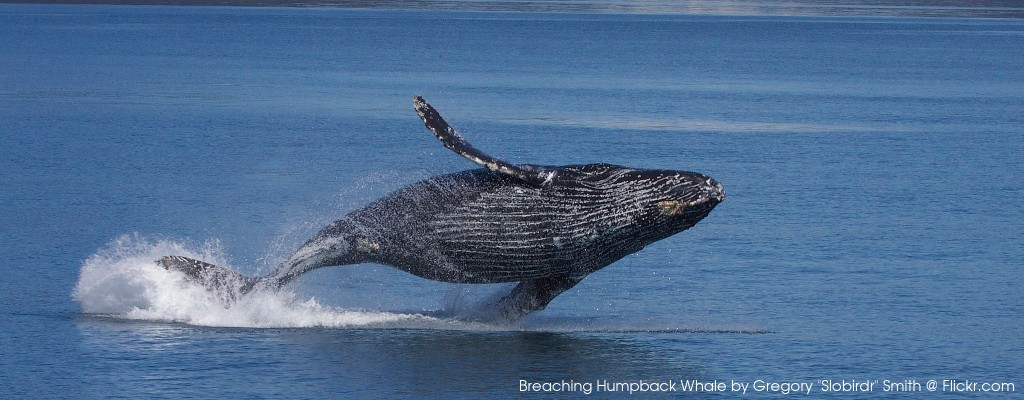 "Breaching Humpback Whale by Gregory ""Slobirdr"" Smith"