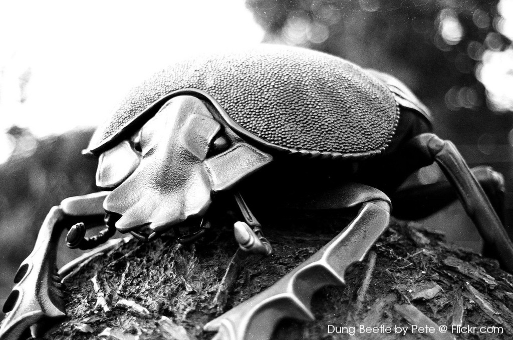Dung Beetle by Pete